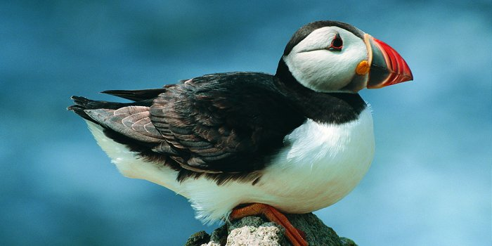 Puffin, found at South Stack